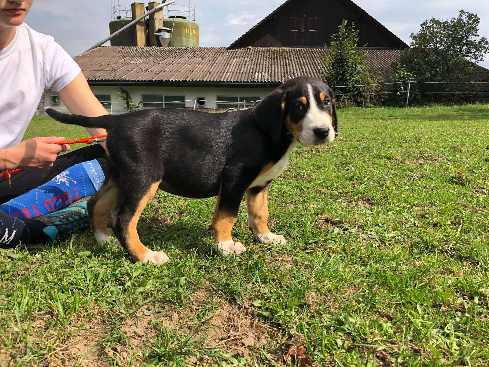 Großer Schweizer Sennenhund Erfahrungen